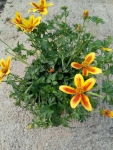 BIDENS-Hawaiian-flare-yellow-red-star