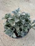 Helichrysum-Moes-silver