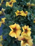 Pétunia-Petchoat-Beautical-caramel-yellow