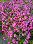 Phlox-subulatta-rose-1L