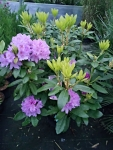Rhododendron-mauve